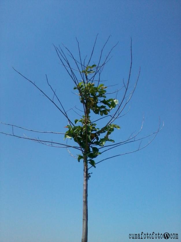 Pohon Setengah Mati